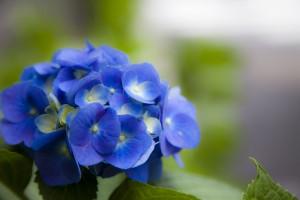 紫陽花づくし