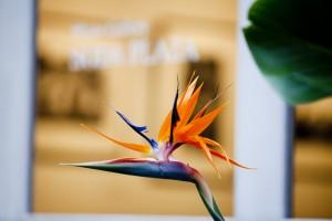 ストレチアの開花