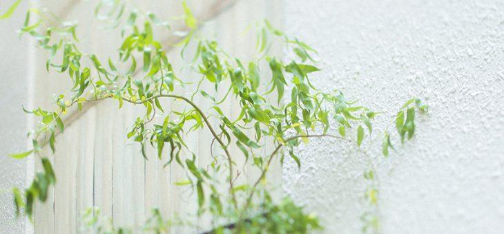 作品撮りに使用した雲龍柳の新緑が美しいです